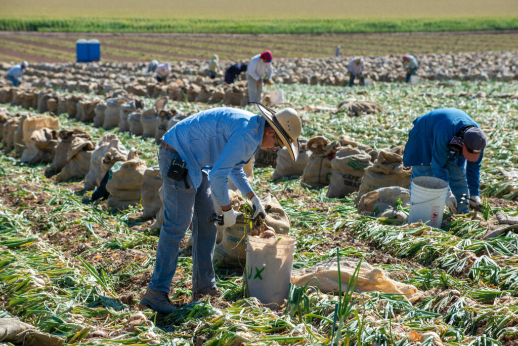 Farmworkers harvest yellow onions in Colorado's Gunnison Valley. Agriculture uses about 80 percent of the Colorado River's water to irrigate 6 million acres of crops. PHOTO BY TED WOOD