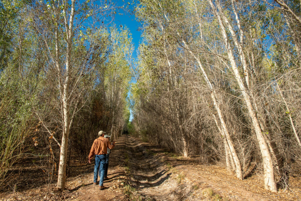 Francisco Zamora, of the Sonoran Institute, and botanist Celia Alvarado walk in a cottonwood forest they helped restore at Laguna Grande in the Colorado River delta. More than 700 acres of land in the delta have been reforested. PHOTO BY TED WOOD