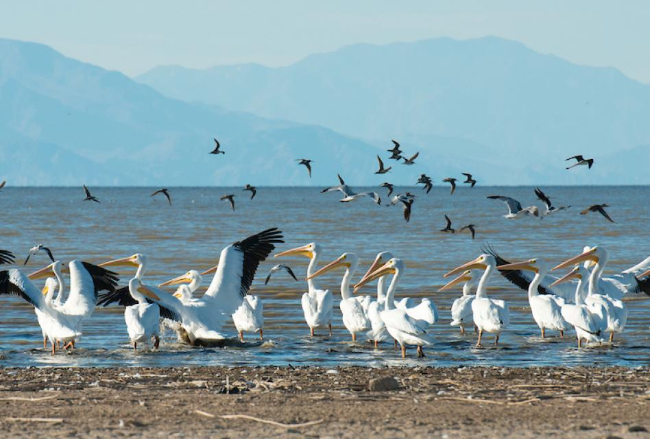 The Salton Sea is a major nesting, wintering and stopover site for about 400 bird species
