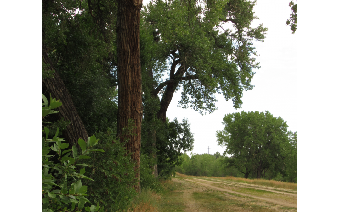 Old cottonwoods line the banks and trails of the historic Denver Highline Canal