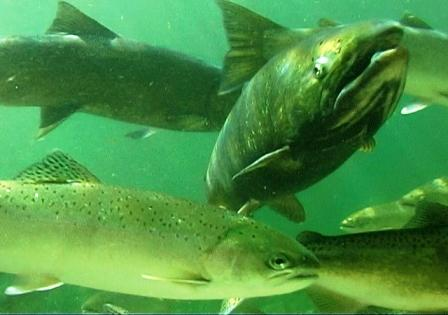 One response to rapid change involves establishing habitat where species such as salmon can persist under a changing climate. (File photo)