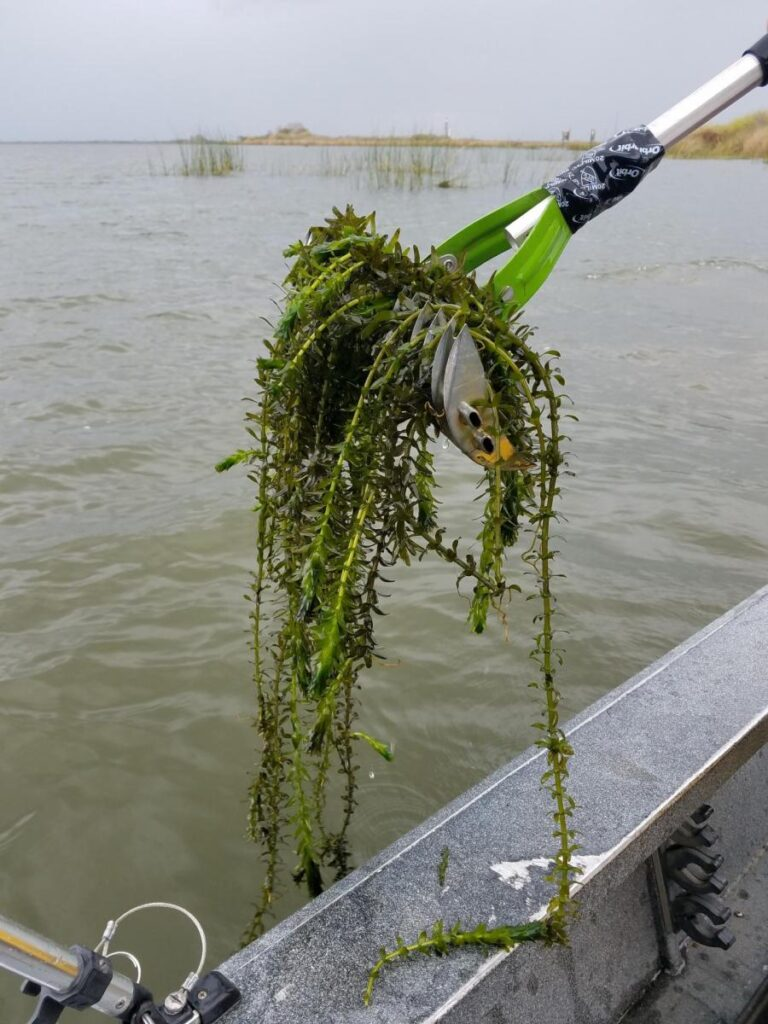 Egeria densa, an invasive South American aquarium plant, covers thousands of acres of the Delta's open water, floating at or just below the surface and entangling boats and swimmers. (Source: California Department of Water Resources)